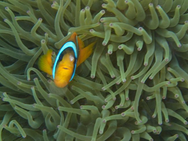 6b6Clownfisch