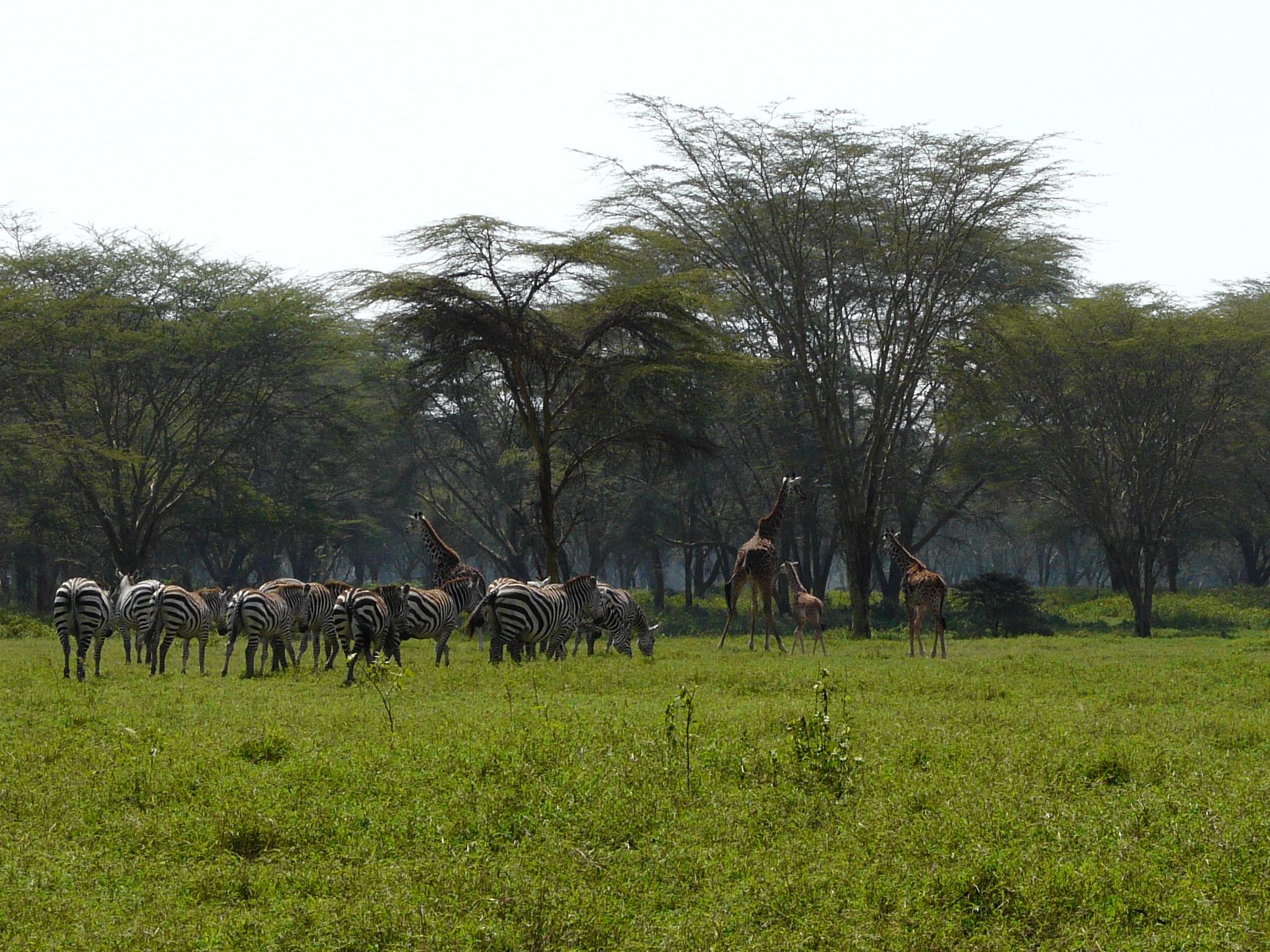 zebrasundgiraffen