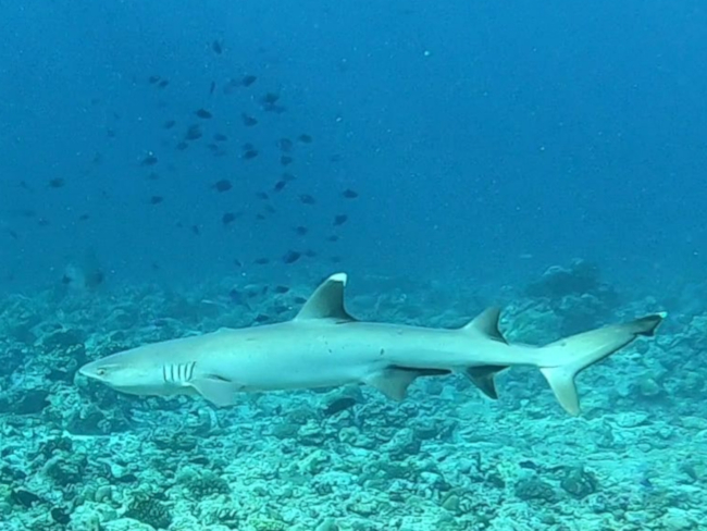 1g1Weißspitzenriffhai-Kopie