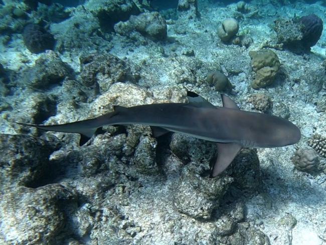 1g2Scharzspitzenriffhai-Kopie