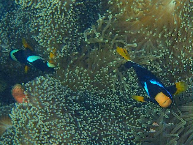 5gAnemonenfisch