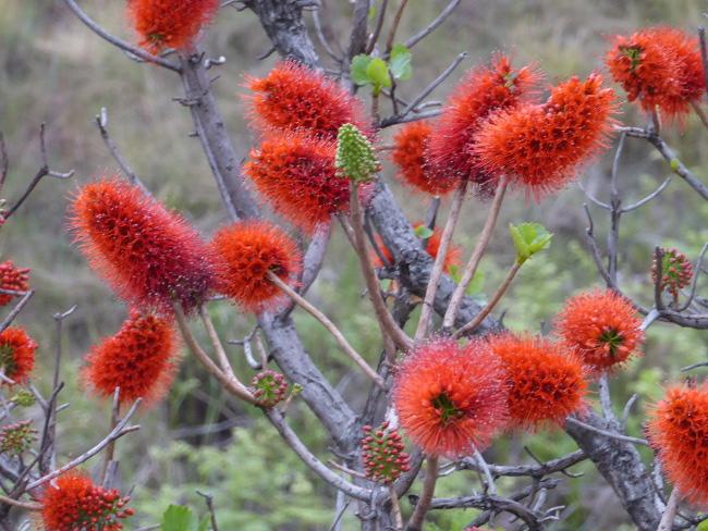 9c2DrakensbergPflanzen