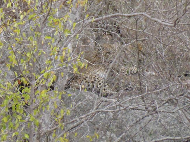 2a1KruegerLeopard