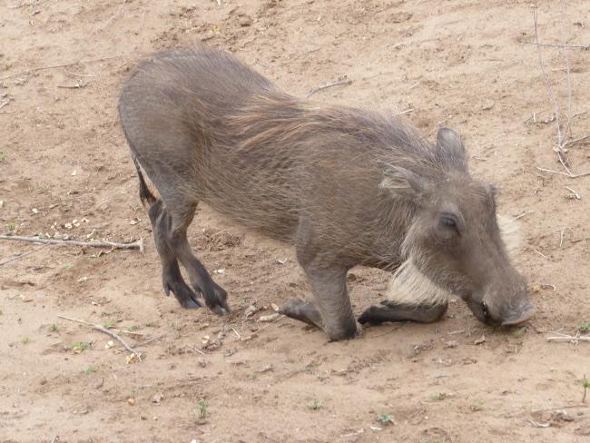2fKruegerWarzenschwein