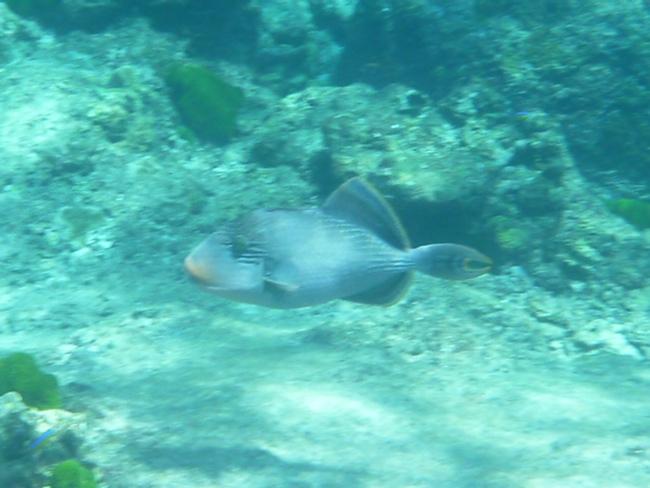 1jSimilan9Drueckerfisch