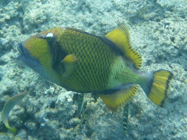 1rSimilan4Drueckerfisch