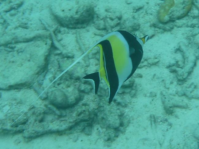 6iSurinHalfterfisch